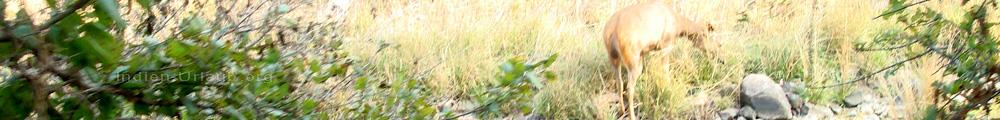 Indien National Parks und hier bei der Tigersafari und andere Tierbeobachtungen, Reisetipps.